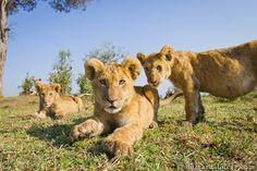 "Lion cubs caught on ""Beetle -Cam"" in Tanzania by Will & Matt Burrard-Lucas."
