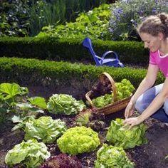 Salat ernten