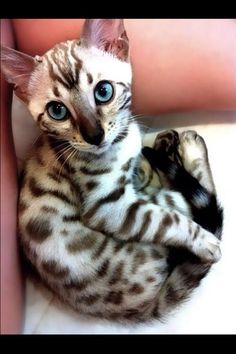 Oriental Shorthair - Please please please get me one for Christmas!!!!!