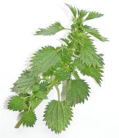 Csalán: egy igazi csodanövény Homemade Beauty Recipes, Jaba, Herbalism, Plant Leaves, Essential Oils, Medical, Herbs, Health, Plants