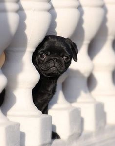 our young puppies Cutest Pug Puppies Ever! our puppies Cute Pugs, Cute Puppies, Funny Pugs, Pug Love, I Love Dogs, Black Pug Puppies, Bulldog Puppies, Lab Puppies, Black Puppy