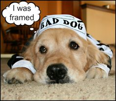 golden retriever in Halloween costume, bad dog prison costume
