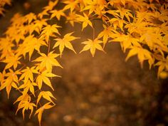 Japanese Maple Leaves are Distinctively Yellow