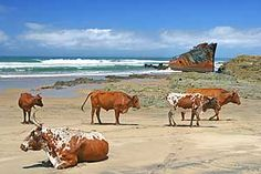 Transkei cattle and the Jacaranda shipwreck - South Africa. Some time ago when the wreck was more intact I was privileged enough to climb on board. There is barely anything left now.