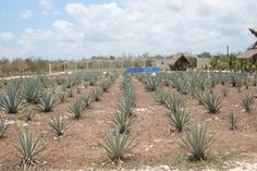Hacienda Antigua Tequila Farm, Cozumel, Mexico (Photo by Amy Giles)