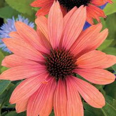 You will love this big-flowered, beautiful orange Coneflower. It's an exciting new plant because the color is highly unusual for Echinacea and the flower power is just extraordinary!
