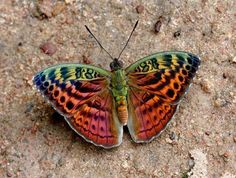 Resplendent forester butterfly (Bebearia sp), a new species discovered in the…