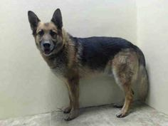 GONE 10/16/14. Brooklyn Center My name is TAXI. My Animal ID # is A0997923. I am a neutered male brown and black germ shepherd mix. The shelter thinks I am about 2 YEARS old. *** RETURNED - 10/5/14- PERSONAL PROBLEMS *** For more information on adopting from the NYC AC&C, or to find a rescue to assist, please read the following: http://urgentpetsondeathrow.org/must-read/