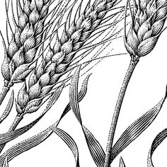 wheat illustration - Google 검색