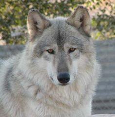 Wolf Mountain Sanctuary - Wolf Education
