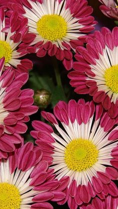 Two-Toned Chrysanthemums