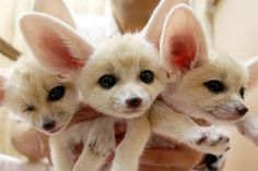 fennec puppies O:) my favorite ones