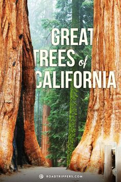 The State of California has the oldest, the largest and the tallest trees in the world.