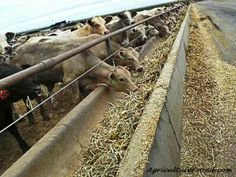 Ask A Farmer - What do feedlot cattle eat?? Stuff EVERYBODY should learn