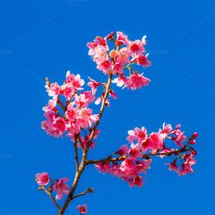Sakura flower on blue sky. by Pushish Images on @creativemarket