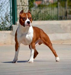 """A stunning American Staffordshire Terrier, which is basically the """"show"""" version of the American Pit Bull Terrier."""