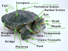 Determine what type of turtle or tortoise you have. Find out if it's a land, water or box species and get specifics on caring for it. (with images/video) Red Footed Tortoise, Tortoise As Pets, Tortoise Care, Tortoise Turtle, Turtle Basking Platform, Sea Turtle Species, Red Eared Slider Turtle, Turtle Aquarium, Aquatic Turtles