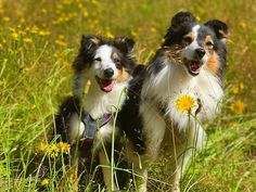 We had such an awesome time on a walk with @jasminethesheltieprincess and her family  Ayo and Jasmine is...
