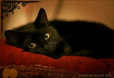 Onyx by ~ ladymorgana.who doesn't love a black kitty? or any kitty for that matter! Crazy Cat Lady, Crazy Cats, I Love Cats, Cute Cats, Animal Gato, Domestic Cat, Beautiful Cats, Cat Memes, Belle Photo