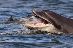 Danny Groves from the Dolphin & Whale Conservation picks six cetacean species to look out for in the waters around Cornwall and the South West Whale Species, Cornwall Coast, Save The Whales, Bottlenose Dolphin, Wale, Dolphins, Conservation, Mammals, Wildlife