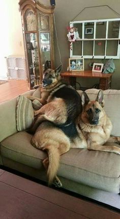 "GSDs... ""It really doesn't matter who was first. This is MY spot!"""
