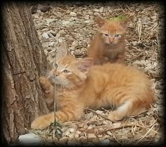 Feral kittens born in our wood pile, Tiny and Barry......