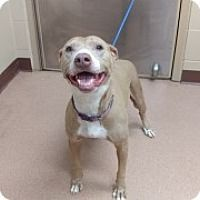 Marla - URGENT - Alvin Animal Adoption Center in Alvin, Texas - ADOPT OR FOSTER - Adult Female Pit Bull Terrier Mix