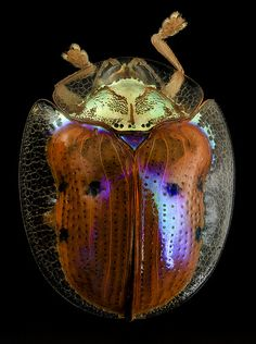 golden tortoise beetle, back, upper marlboro, md_2014-06-04-13.25.12 ZS PMax
