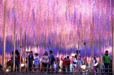 夜に映える下がり藤 栃木・あしかがフラワーパーク:朝日新聞デジタル