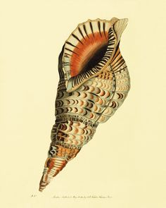 Seashell Vintage prints old prints home decor wall art ocean life Natural History Ocean Decor antique prints shell print 8x10 art print