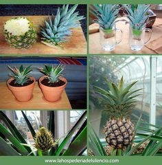 How to grow a pineapple!!