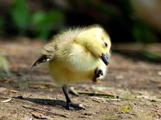 Canadian gosling having a good scratch - Pixdaus