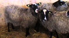 Romanov Sheep Sheep