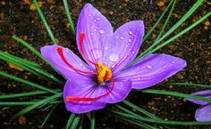 19 Best Benefits Of Saffron Images Saffron Saffron Benefits