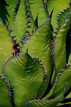 Agave shawii ssp. shawii by plantmanbuckner, via Flickr
