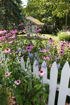 Picket Fence / Cone flowers on both sides (Echinacea).