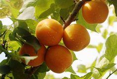 杏 果樹 - Google 検索