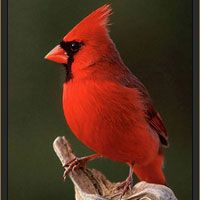 ILLINOIS State Bird - Cardinal