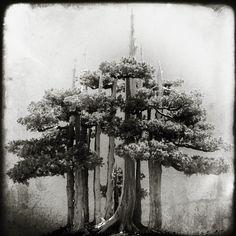 old growth cedars
