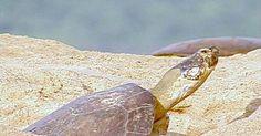 Tartaruga-da-amazônia