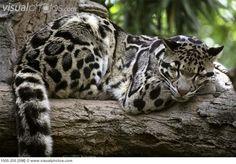 Clouded Leopard lying in a tree