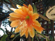 Epiphyllum - King Midas