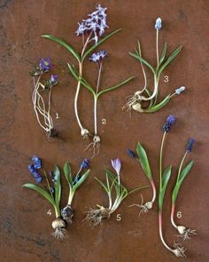 Mass these six fall-planted species for a grand statement lasting 6 - 8 weeks in the spring  1. Grecian Windflower (Anemone blanda) | 2. Glory of-the-Snow (Chionodoxa luciliae) | 3: Grape Hyacinth (Muscari 'Valerie Finnis') | 4. Siberian Squill (Scilla siberica) | 5. Woodland Crocus (C. tommasinianus) | 6. Grape hyacinth (M. latifolium)
