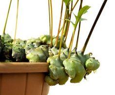 Lecanopteris Pumila (Ant Plant)