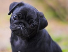 """Exceptional """"black pug puppies"""" detail is offered on our web pages. Take a look and you wont be sorry you did. Black Pug Puppies, Cute Puppies, Cute Dogs, Dogs And Puppies, Pug Photos, Pug Pictures, Pug Love, I Love Dogs, Cutest Pug Ever"""