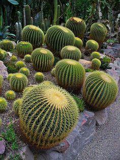 Equinocactus grusonii. http://es.wikipedia.org/wiki/Echinocactus_grusonii