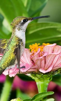 Ruby-throated Hummingbird - ©/cc Kelly Colgan Azar www.flickr.com/photos/puttefin/5972025847/