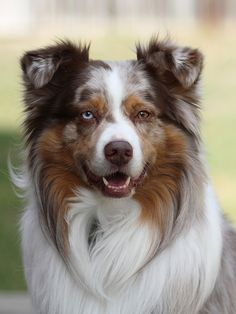 Australian Shepherd dog art portraits, photographs, information and just plain fun. Also see how artist Kline draws his dog art from only words at drawDOGS.com #drawDOGS http://drawdogs.com/product/dog-art/australian-shepherd-dog-portrait-by-stephen-kline/