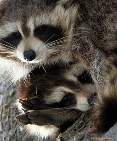 """Raccoons: """"Big Foot Pillow!"""" (Photo By: Barb D'Arpino on 500px.)"""