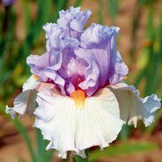 Belgian Princess...Schreiner's Iris Gardens